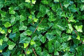 Lierre : planter et tailler – Ooreka