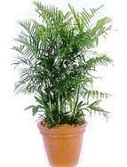 Le palmier bambou - Jardiner avec Jean-Paul